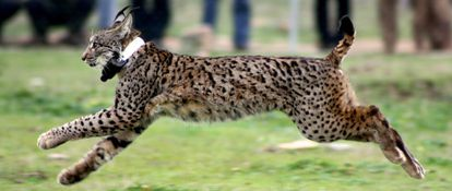 Lynx Kentaro runs to freedom after his release in Toledo last November.