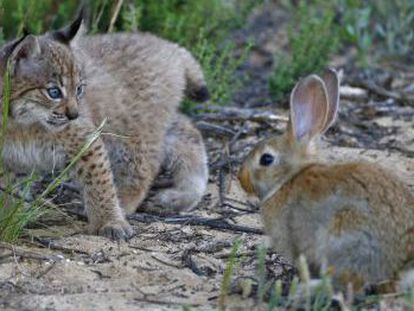 The lynx is a specialist rabbit hunter and not as capable as other species of varying its diet when its primary prey is scarce.