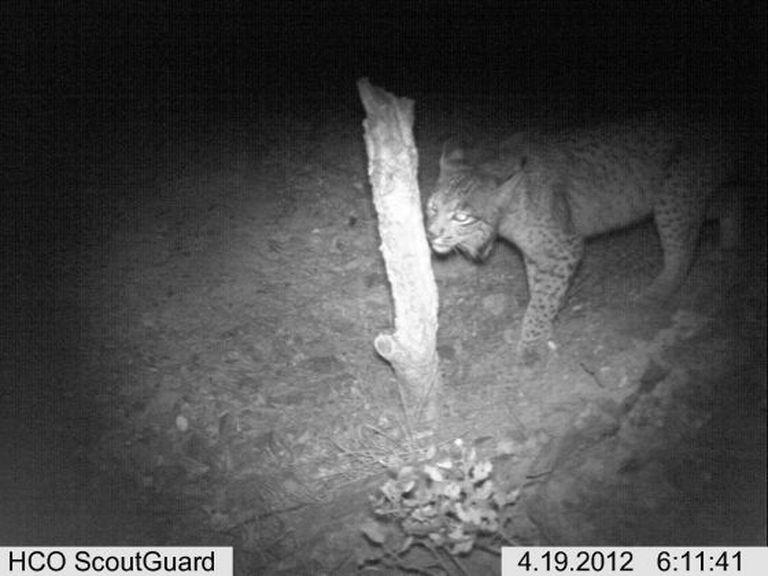 The motion-capture image of Fontana, a female Iberian lynx, in Castilla-La Mancha in April.