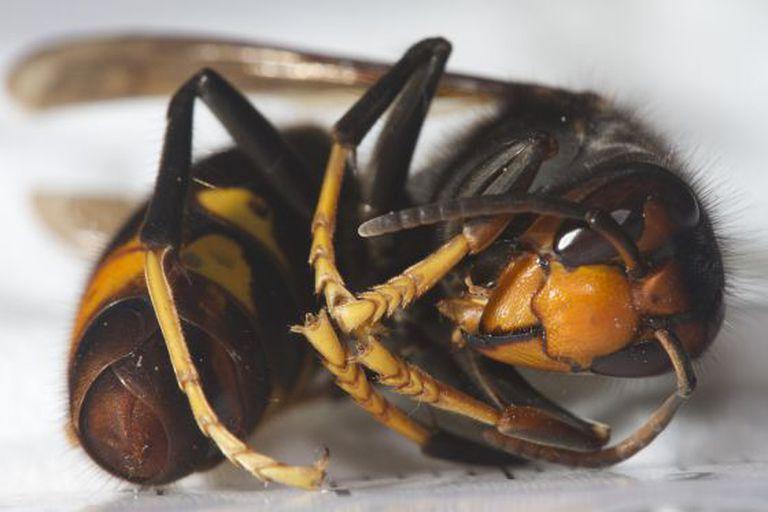 Vespa velutina, also known as the Asian hornet.