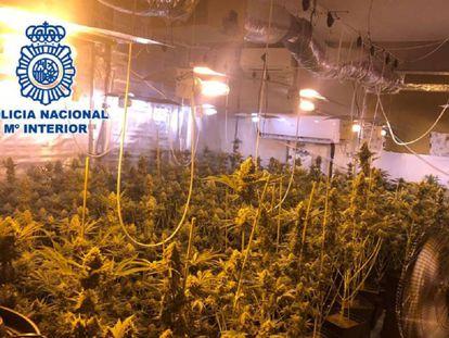 The marijuana plantation alleged to belong to Manuel Palma.