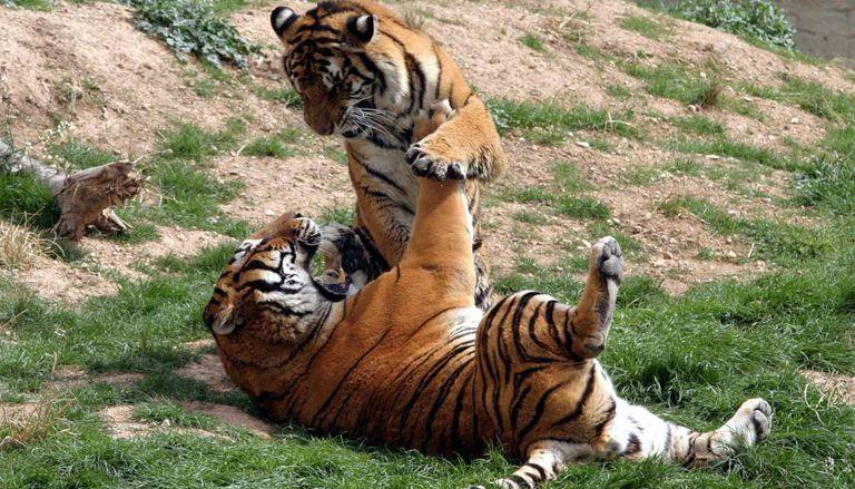 Tigers at the Terra Natura park in Benidorm.