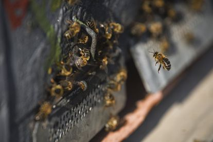Climate change alters ecosystems and endangers local flora and fauna. According to the Intergovernmental Panel on Climate Change (IPCC), around 50% of species studied have been affected by climate change. The disappearance of bees will take an especially heavy toll on agriculture. Around 70% of Spain's most important crops rely on insects, such as bees, for pollination. Bee populations, however, have fallen drastically this century due to climate change and other factors such as the use of insecticides and the spread of predators such as the Asian hornet and European bee-eater bird.