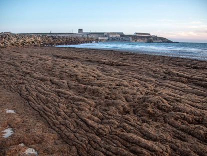 Algae covers Los Lances beach in Tarifa.