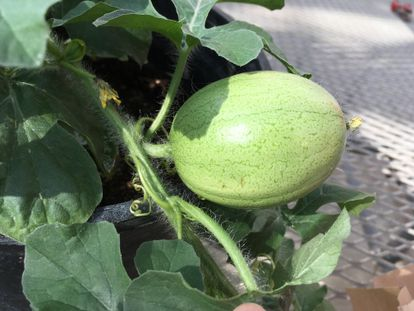 """The Kordofan melon, believed to be the """"father"""" of the modern watermelon."""