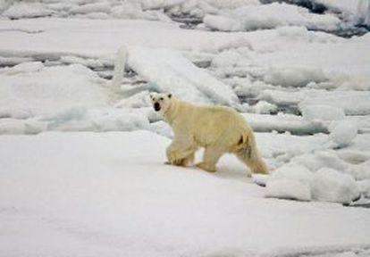 A polar bear walks across the frozen ice of the Arctic Ocean.