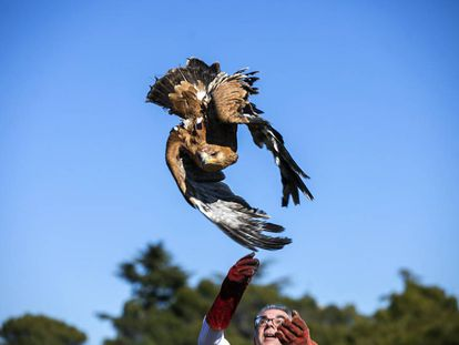 Madrid environment chief Carlos izquierdo releases an imperial eagle in Galapagar.