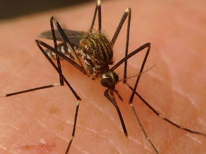 A specimen of 'Aedes japonicus.'