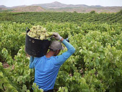 The grape harvest in Spain's leading wine producing region, La Rioja.