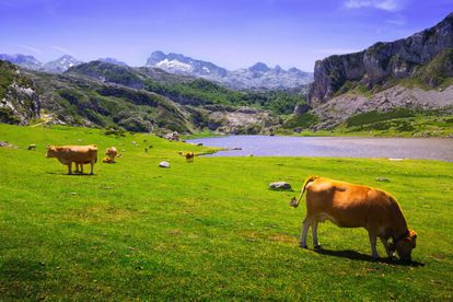 The Lakes of Covadonga are situated 1,000 meters up in the Picos de Europa mountains. Around them, herds of horses, cows and goats graze at their leisure in a calm and tranquil environment. Visitors are also encouraged to take advantage of the surrounding hiking trails – no hiking or climbing experience is required to embark on them.