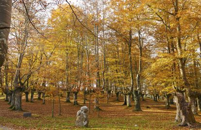 A forest of beech inside Urkiola natural park.