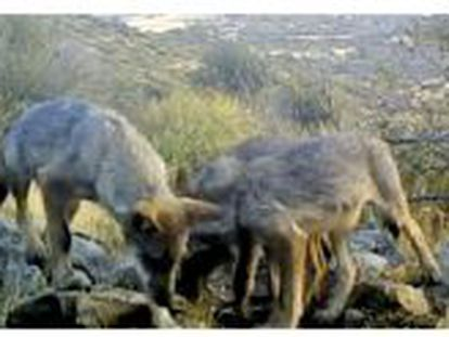 Images of the Guadarrama wolf pack provided by the Madrid regional government.