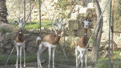 Endangered dama gazelles in Almería.