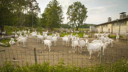 Milk-producing goats at the Brodowin organic farm, 80 kilometers northeast of Berlin.