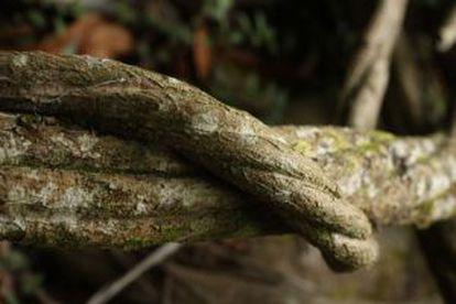 The vine used to make ayahuasca.