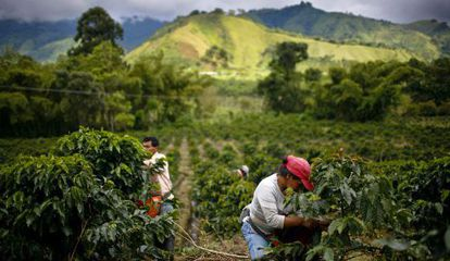 A coffee plantation in Gigante, Colombia.