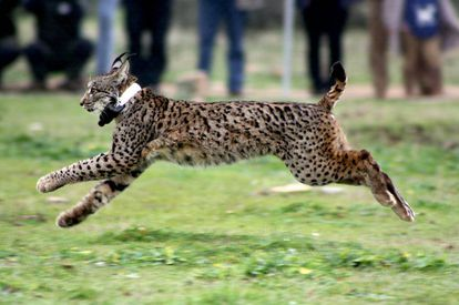 An Iberian lynx is released into the wild in Toledo.