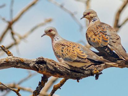 A pair of turtledoves.