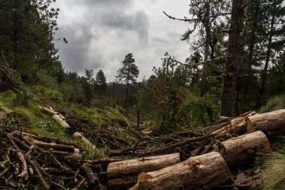 Trees felled by illegal logging in the State of Mexico.