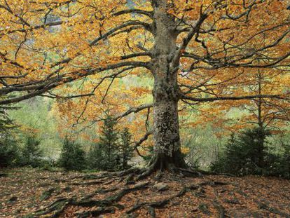 How much is a beech forest worth? Biodiversity banks are to be set up for Spanish habitats.