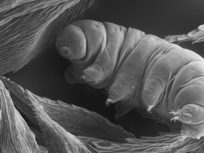 A tardigrade, or water bear, a microscopic being capable of surviving nearly everything.