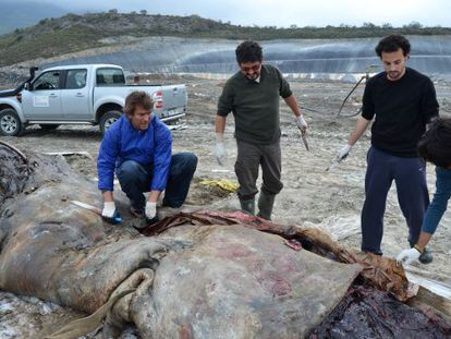 A researcher opens up the stomach of the dead sperm whale, which had ingested nearly 18 kilos of plastic.