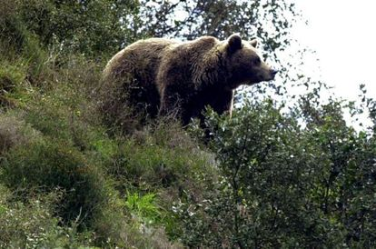 One of Spain's brown bears
