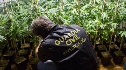 A police officer checks a marijuana plant in Padul, Granada.