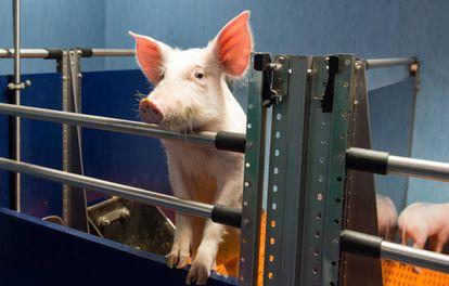 A pig at the National Paraplegic Hospital in Toledo.