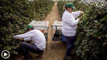 Two workers pick blackberries in Lucena del Puerto, a town in Huelva.