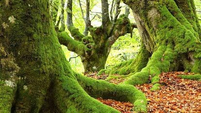 A forest of beech inside the natural park of Urkiola in the Basque Country.