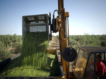 Olives being harvested in Morón de la Frontera, Seville