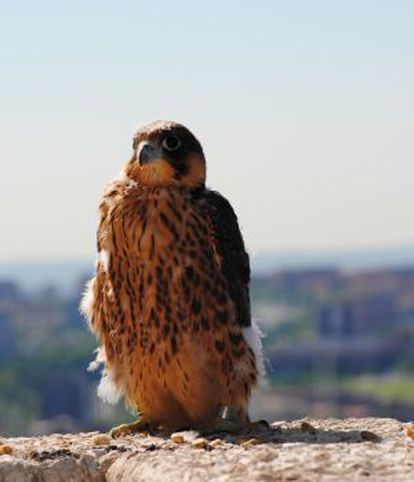 One of Madrid's falcons.