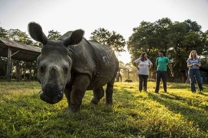 An Indian rhinoceros being cared for by VIEW.