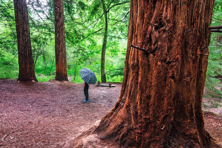 Sequoias in Monte Cabezón, in Cantabria.