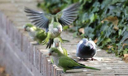 Monk parakeets in the Casa de Campo park in Madrid.