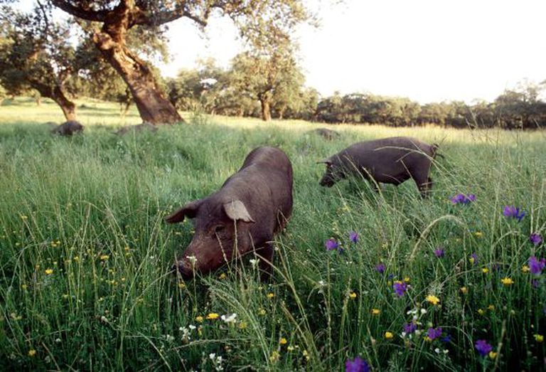 Iberian pure-breed pigs grazing in an orchard in Extremadura.