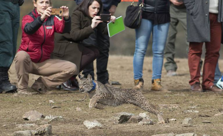 The release of a lynx into the wild in Jaen.