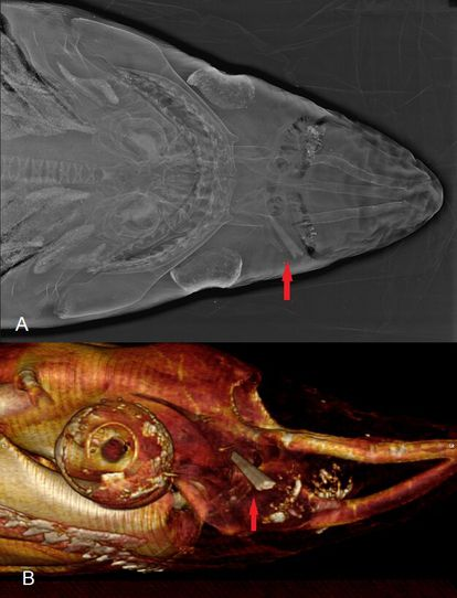 Above: X-ray of a specimen found in Vera in Almería. Below: Lateral view of the wound using computed tomography. The red arrow points to the tip of the swordfish's blade.