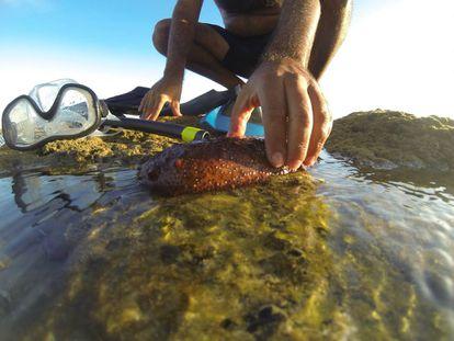 A sea cucumber on a beach in Cádiz.