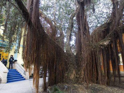 An ancient pohutukawa, a tree native to New Zealand, grows in A Coruña.