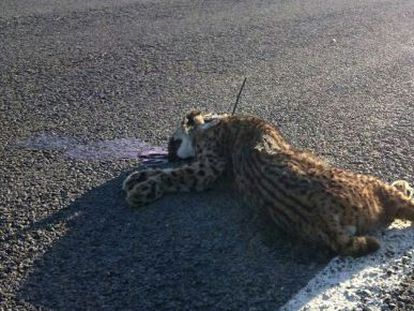 An Iberian lynx killed this month in Huelva province.