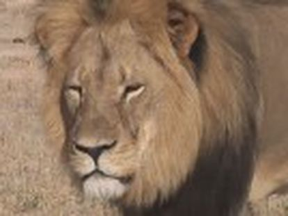 Zimbabwe authorities are looking for Spanish hunter who allegedly killed one of Africa s best-known big cats