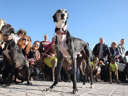 Greyhounds are often abused and abandoned, say animal activists.