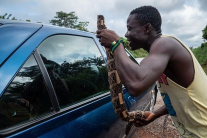 A man offers a passing motorist snake meat on a highway in Ivory Coast.