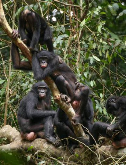 Bonobos were found to have low levels of violence against one another.