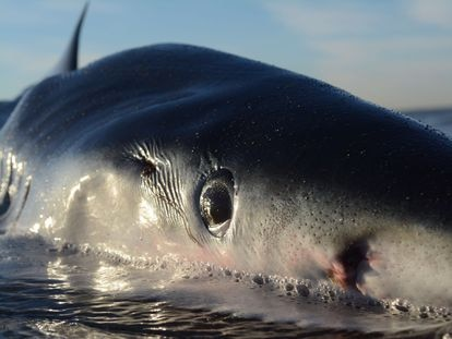 A blue shark lies on a beach in Ostia, western Italy, with a wound from a swordfish behind its eye.