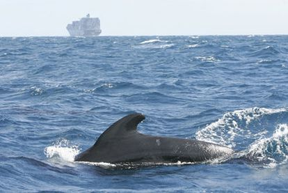 A pilot whale with a cargo ship in the background in the Gibraltar Straits.