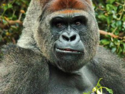 The news about the gorilla incident in Tenerife has been reported around the world.