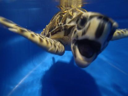 The hawksbill turtle is now listed as a promising species.